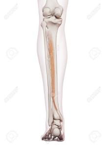 43308161-後脛骨筋の医学的に正確な筋肉図